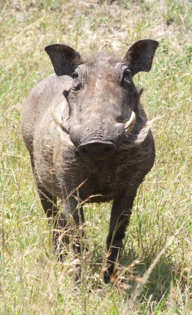 wathog in africa