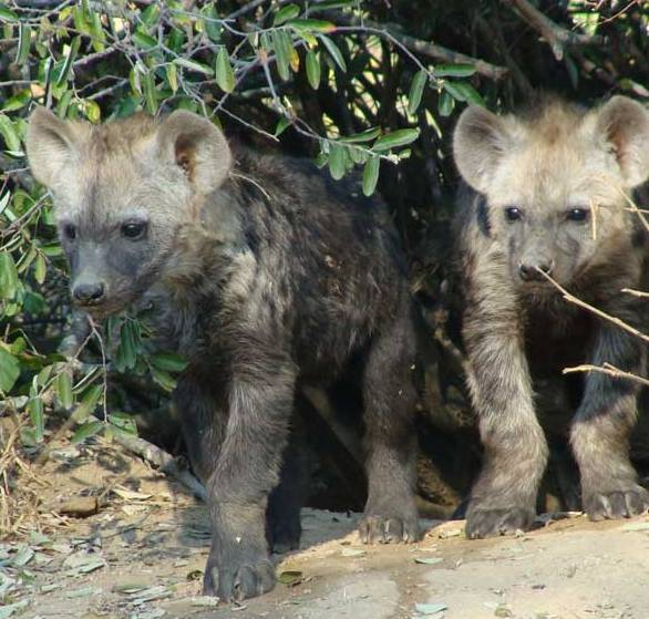 hyena pups sabi sands africa package holiday trip