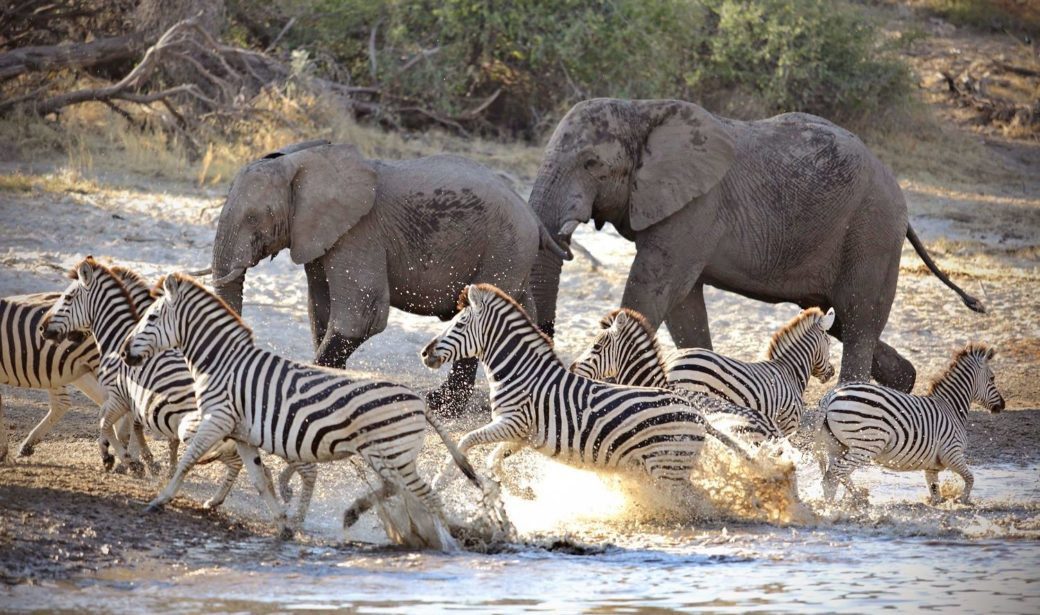 elephants and zebra river crossing okavango delta botswana south africa