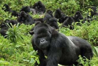 Walking with the Gorillas