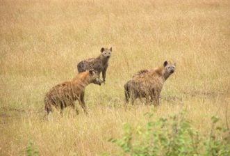 Some of Africa's most interesting wildlife and where best to find them – Hyenas