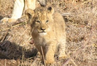 Some of Africa's most interesting animals and where best to find them – Lions