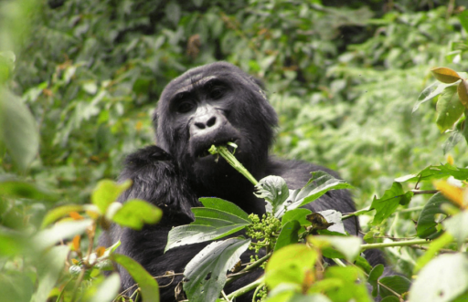 Luxury African Safari in Rwanda seeing the gorillas