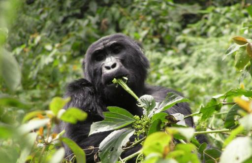 Luxury African Safari in Rwanda seeing the gorillas