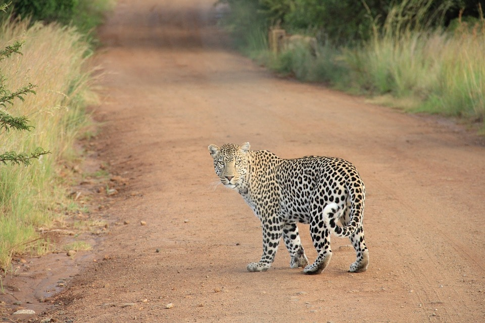 leopard viewing on safari tour to south africa from australia