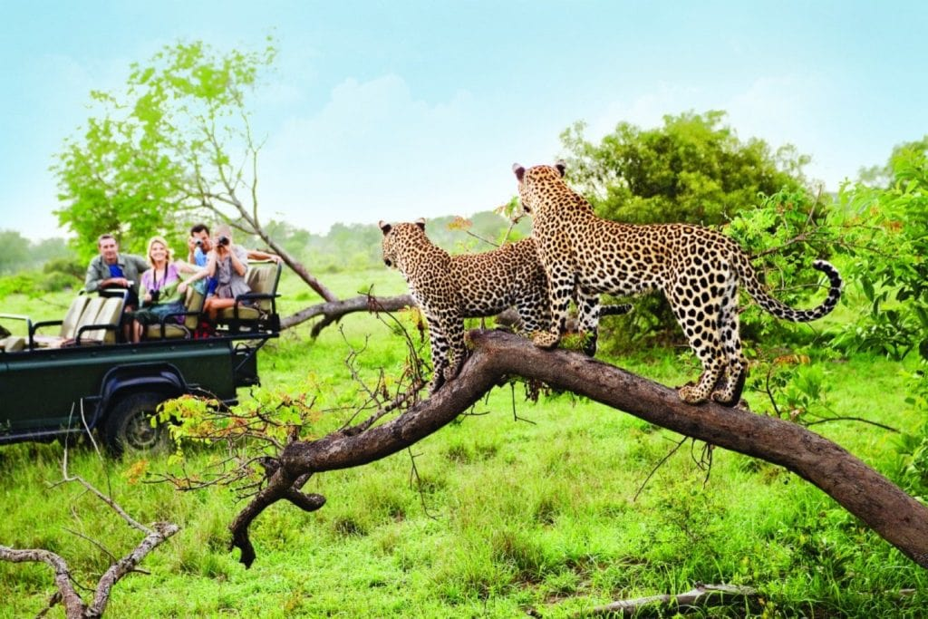 cheetahs on branch in botswana south africa