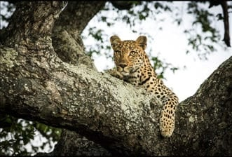 The Stunning Female Leopard We've Known as Hlabankunzi
