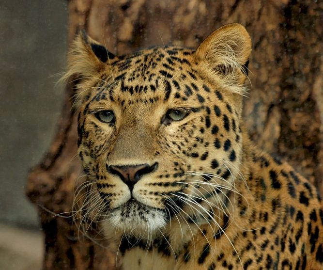Leopard authentic south african safari holiday