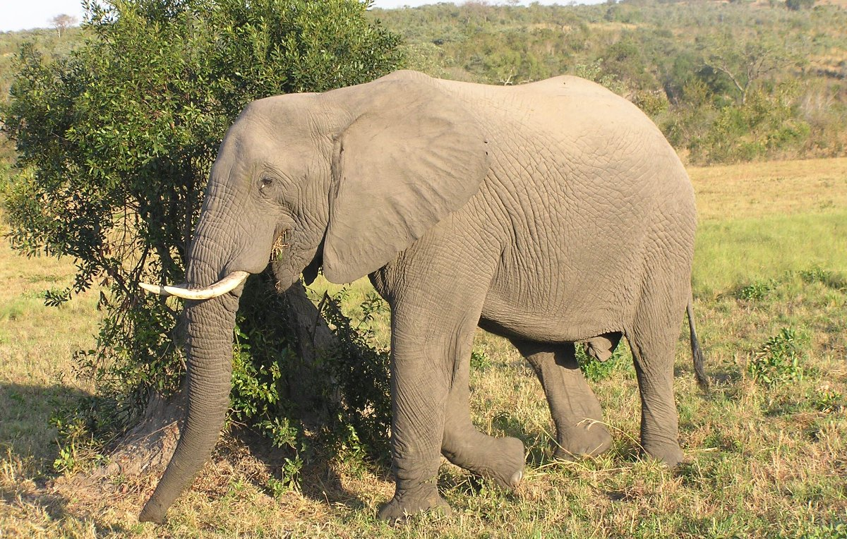 African Wildlife, African Elephant spotted on luxury African safari in 2014