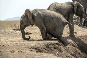african elephant baby_comp