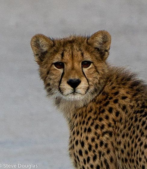 Cheetah cub Hwange Zimbabwe