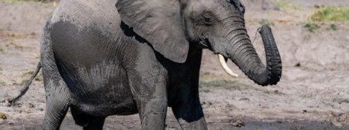 Elephant splashing water Hwange National Park Zimbabwe South Africa