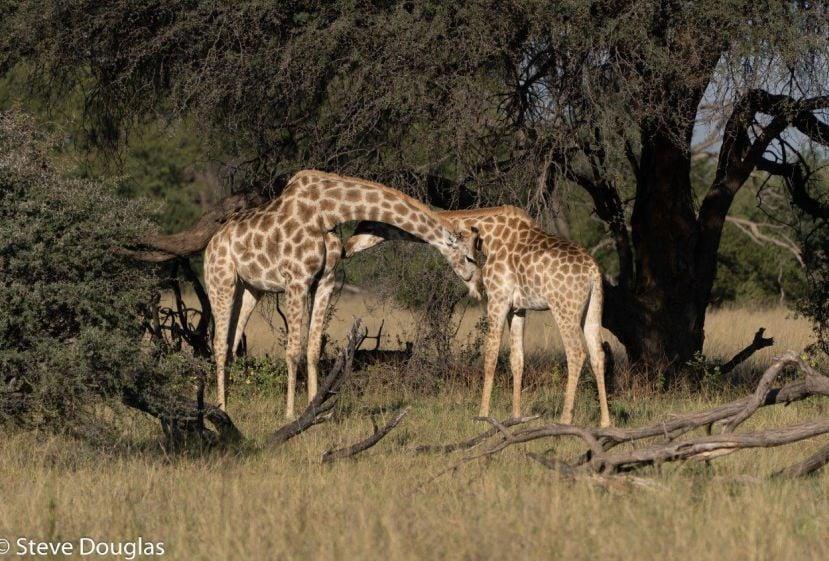 giraffes hwange zimbabwe