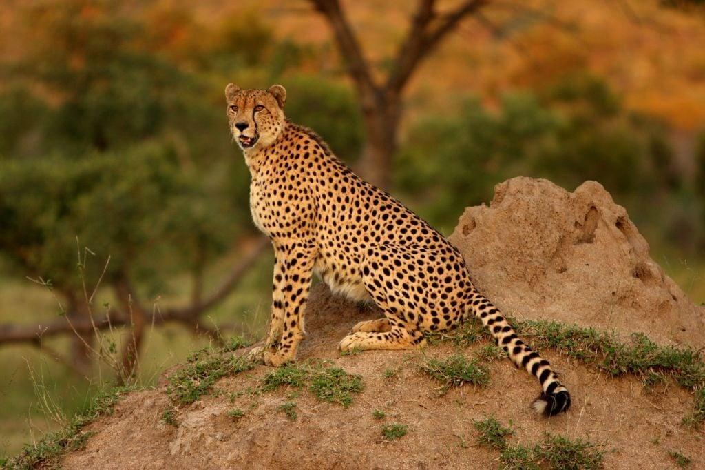 Cheetah in Sabi Sands wildlife african safari near a termite mound
