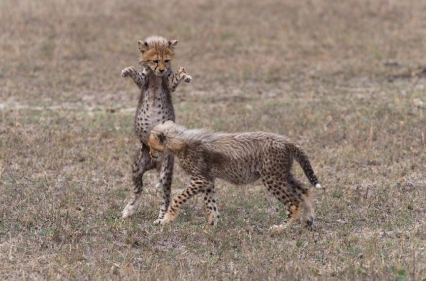 Cheetah cubs Sabi Sands 2015