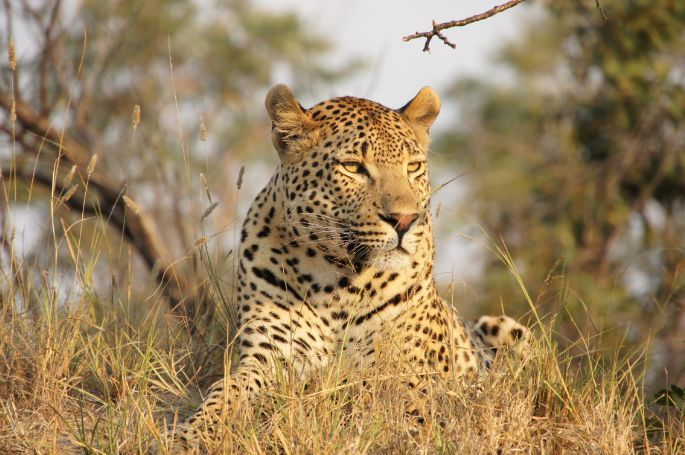 leopard in southern africa