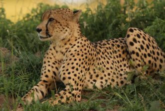 The Cheetah: One of the Mysteries of the Masai Mara