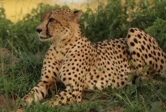 The Cheetah: One of the Mysteries of the Masai Mara