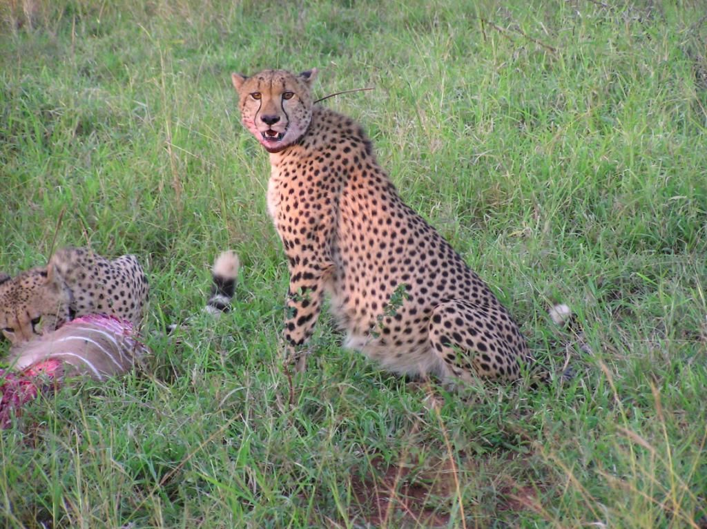cheetah with kill masai mara kenya africa