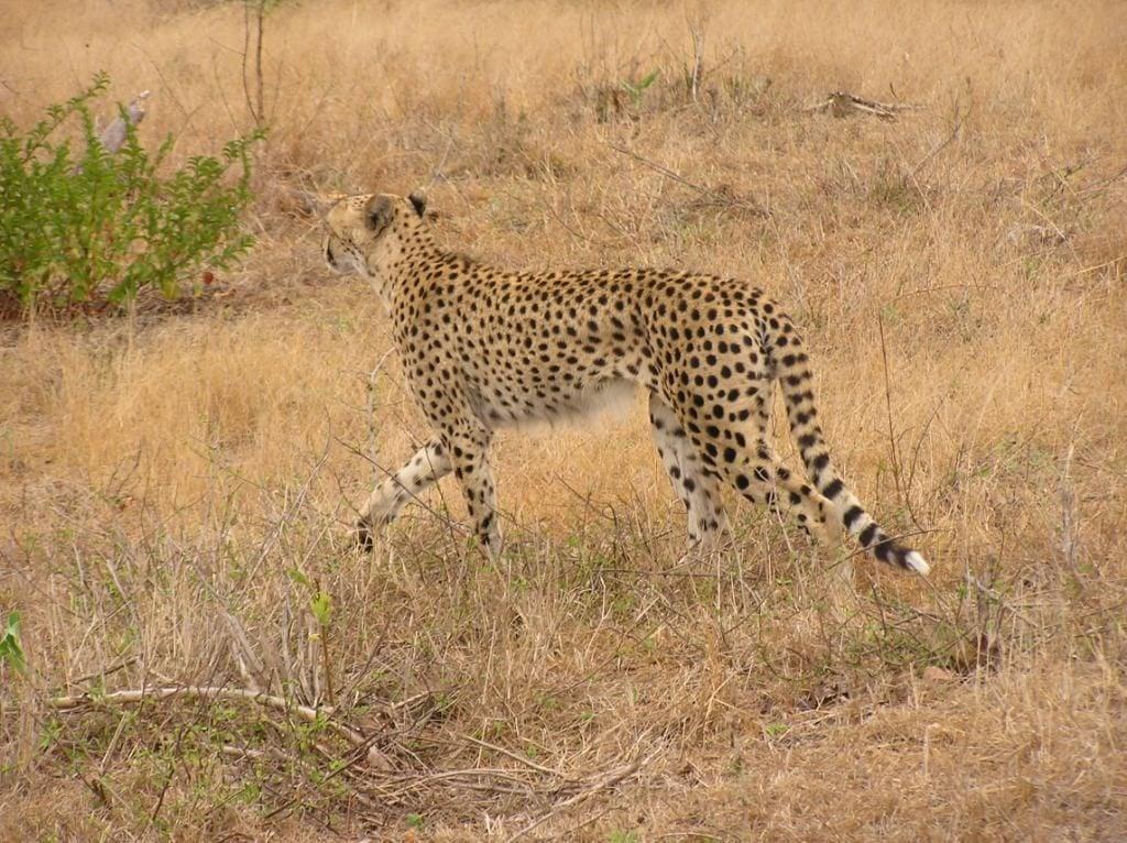 masai mara cheetah luxury african safari holiday