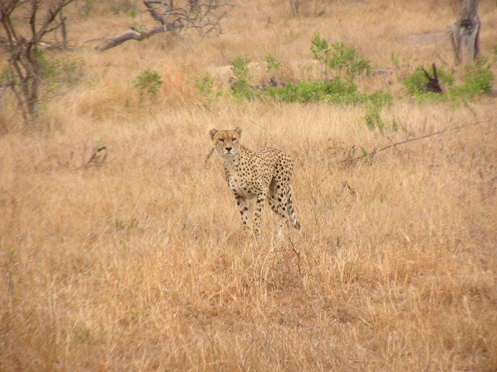 masai mara cheetah luxury african safari